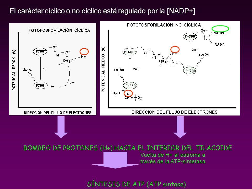El carácter cíclico o no cíclico está regulado por la [NADP+]